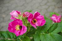 Abb. 4 Strauchrose Rosa rugosa, mit Hummeln, ADR-Rose (nur die Sorten Pierette Tantau 1990; und Foxi Tantau 1989)