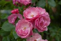 Abb. 9 Strauchrose Angela, ADR-Rose, Züchter Kordes 1984