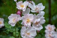 Abb. 10 Strauchrose Windrose, ADR-Rose, Blüten weiß, rosa überhaucht, öfterblühend, Züchter Noack 1995