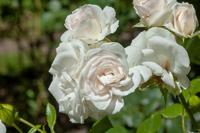 Abb. 11 Kleinstrauchrose Aspirin-Rose, ADR-Rose, Züchter Tantau 1997